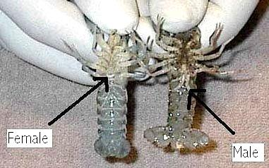 Crayfish Eggs and Babies